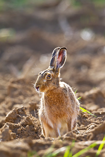 RAB 01 KH0058 01 © Kimball Stock European Hare Sitting In Field Before Plowing In Spring Alsace, France