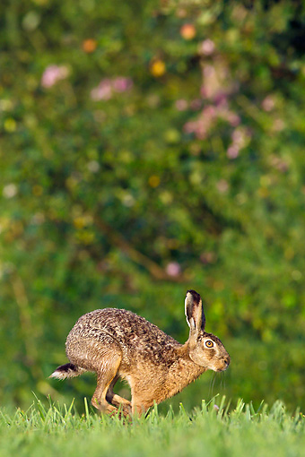 RAB 01 KH0059 01 © Kimball Stock European Hare Hopping Through Meadow France