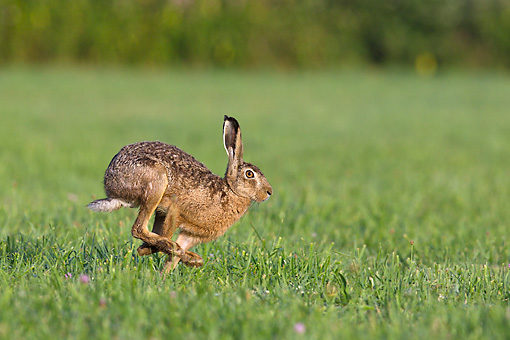 RAB 01 KH0060 01 © Kimball Stock European Hare Hopping Through Meadow France
