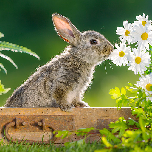 RAB 01 KH0065 01 © Kimball Stock Young Rabbit Sniffing Flowers In Garden