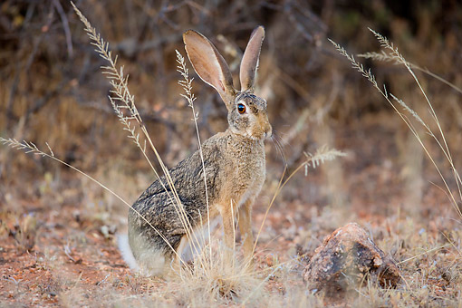 RAB 01 KH0066 01 © Kimball Stock Cape Hare Sitting In Kenya