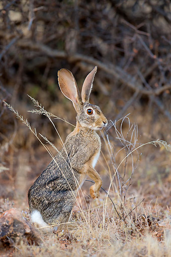 RAB 01 KH0067 01 © Kimball Stock Cape Hare Sitting In Kenya