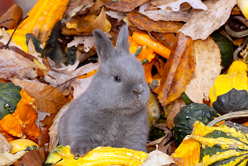 RAB 01 LS0013 01 © Kimball Stock New Zealand Rabbit Kit Sitting In Leaves And Gourds
