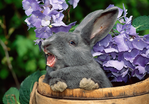 RAB 01 LS0015 01 © Kimball Stock New Zealand Gray Rabbit Hissing In Flower Pot