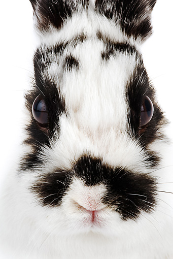 RAB 01 MH0002 01 © Kimball Stock Head Shot Of Jersey Wooly Rabbit On White Seamless