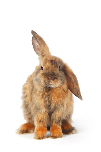 RAB 01 PE0002 01 © Kimball Stock Young Satin Lop Eared Dwarf Rabbit Sitting On White Seamless