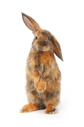 RAB 01 PE0003 01 © Kimball Stock Young Satin Lop Eared Dwarf Rabbit Standing On Hind Legs On White Seamless