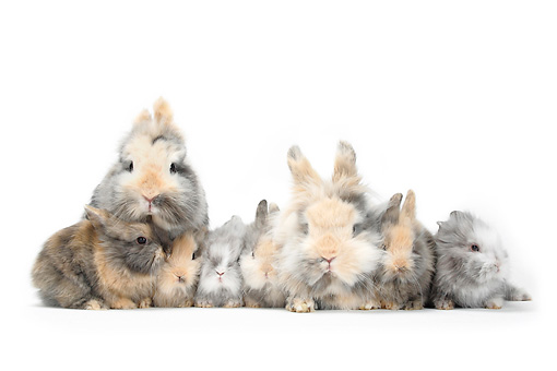 RAB 01 PE0005 01 © Kimball Stock Lionhead Dwarf Rabbits With Young Sitting On White Seamless