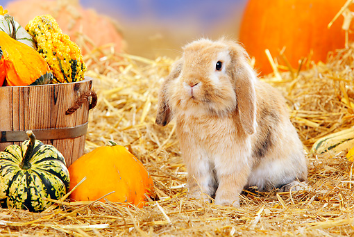 RAB 01 PE0009 01 © Kimball Stock Lop Eared Dwarf Rabbit Sitting In Hay By Pumpkins And Gourds