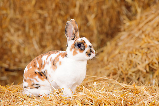 RAB 01 PE0010 01 © Kimball Stock Dwarf Rex Rabbit Sitting On Hay