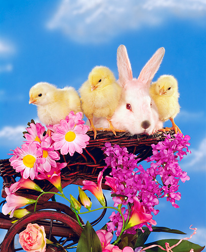 RAB 01 RK0034 01 © Kimball Stock Easter Bunny And Chicks In Basket By Flowers Cloudy Blue Sky