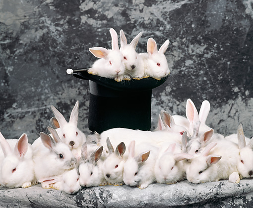 RAB 01 RK0037 16 © Kimball Stock A Warren Of White Rabbits By Magic Hat Gray Background