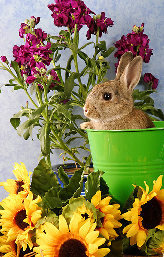 RAB 01 SJ0001 01 © Kimball Stock Domestic Rabbit Sitting In Green Bucket By Flowers In Studio