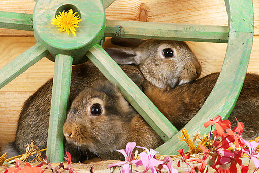 RAB 01 SJ0004 01 © Kimball Stock Domestic Rabbits Sitting By Wooden Wheel And Flowers