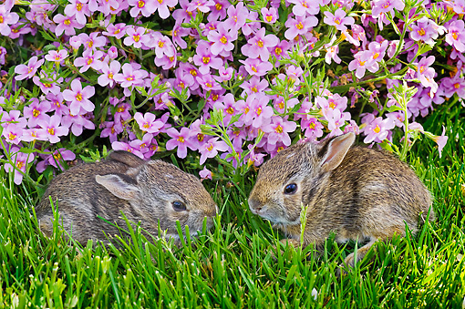 RAB 01 TK0002 01 © Kimball Stock Two Eastern Cottontail Kits Laying On Grass By Pink Flowers