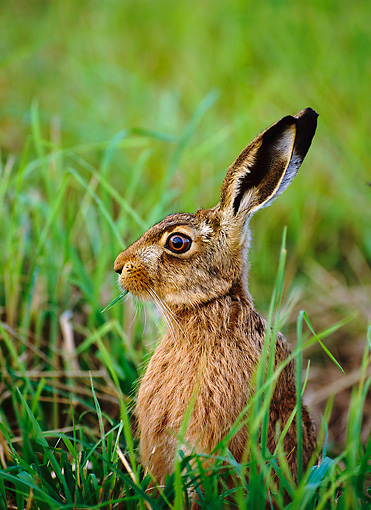 RAB 01 WF0001 01 © Kimball Stock European Brown Hare Sitting Upright In Grass