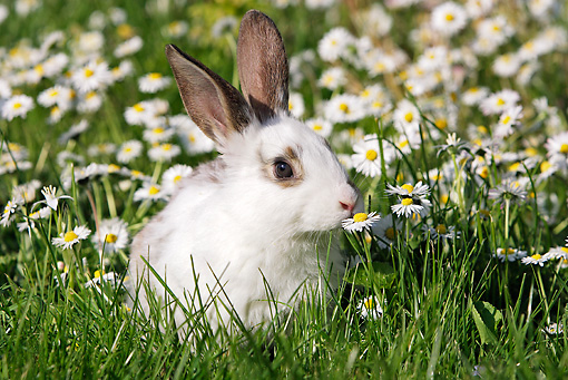 RAB 01 WF0002 01 © Kimball Stock Young Domestic Rabbit Sitting In Grass Sniffing Daisy