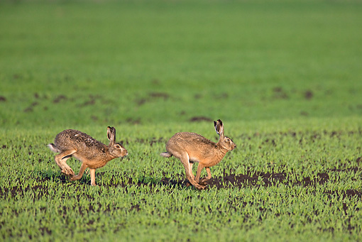RAB 01 WF0004 01 © Kimball Stock Two European Brown Hares Running Through Grass Field In Spring