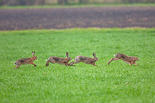 RAB 01 WF0005 01 © Kimball Stock Three European Brown Hare Males Chasing Female In Grass Field In Spring