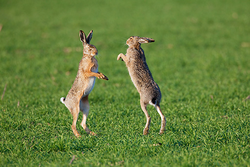 RAB 01 WF0006 01 © Kimball Stock European Brown Hares Chasing Each Other In Grass Field In Spring