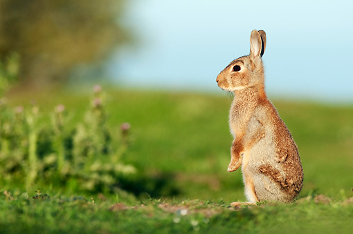 RAB 01 WF0008 01 © Kimball Stock Young European Rabbit Sitting Upright On Grass