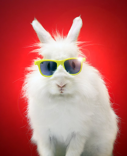 RAB 01 XA0001 01 © Kimball Stock Cool Rabbit Wearing Sunglasses In Studio