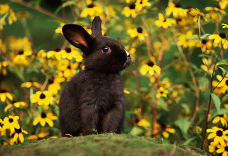 RAB 01 GR0003 01 © Kimball Stock Domestic Black Rabbit Kit Sitting Atop Rock In Yellow Flower Field