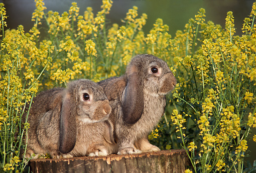 RAB 01 GR0014 02 © Kimball Stock Two Domestic Mini-lop Rabbits On Tree Stump By Yellow Flowers