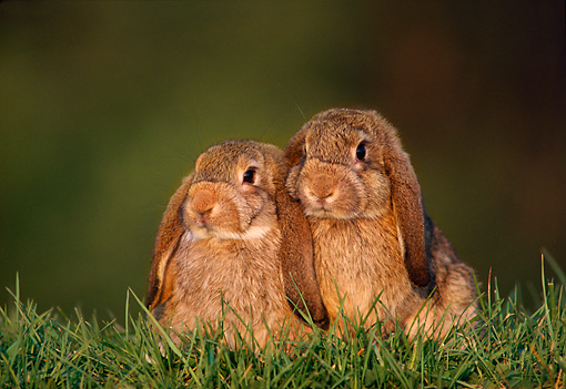 RAB 01 GR0034 01 © Kimball Stock Two Lop Eared Rabbit Kits On Grass