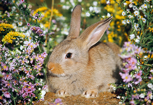 RAB 01 GR0040 02 © Kimball Stock Domestic Brown Rabbit Crouching Amongst Wildflowers