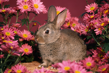 RAB 01 GR0045 02 © Kimball Stock Domestic Rabbit Kit By Pink Flowers