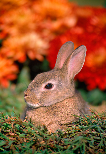 RAB 01 GR0047 01 © Kimball Stock Head Shot Of Domestic Rabbit Kit Sitting By Flowers