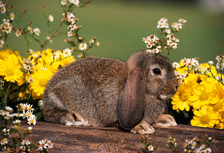 RAB 01 GR0059 01 © Kimball Stock Domestic Lop Eared Rabbit Kit Sitting On Log By Yellow And White Flowers