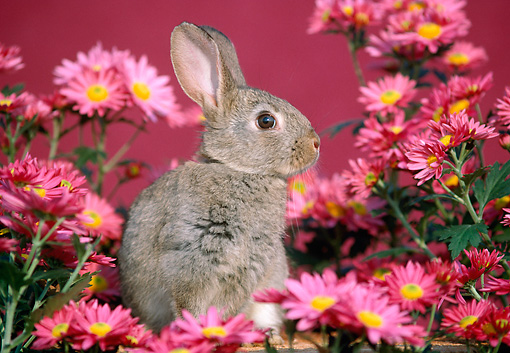RAB 01 GR0065 01 © Kimball Stock Domestic Rabbit Kit Sitting By Pink Flowers Studio