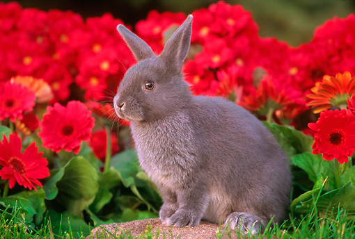 RAB 01 GR0097 02 © Kimball Stock Netherland Dwarf Rabbit On Rock By Flowers