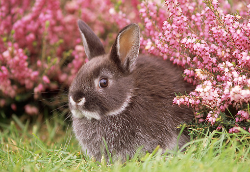 RAB 01 GR0103 01 © Kimball Stock Netherland Dwarf Rabbit On Grass By Flowers