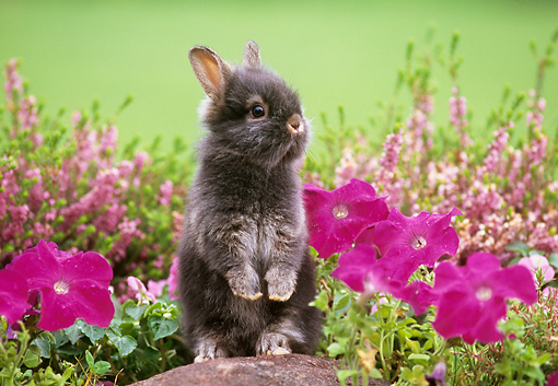 RAB 01 GR0122 01 © Kimball Stock Lionhead Rabbit On Rock By Flowers