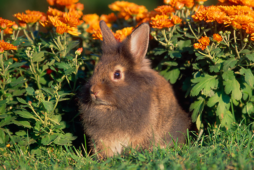 RAB 01 GR0131 01 © Kimball Stock Lionhead Rabbit On Grass By Flowers