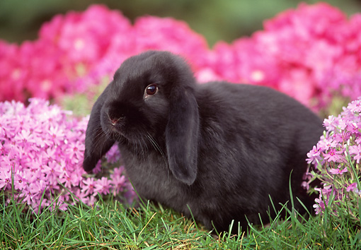 RAB 01 GR0139 01 © Kimball Stock Mini Lop Rabbit On Grass By Flowers
