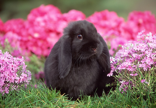 RAB 01 GR0139 02 © Kimball Stock Mini Lop Rabbit On Grass By Flowers