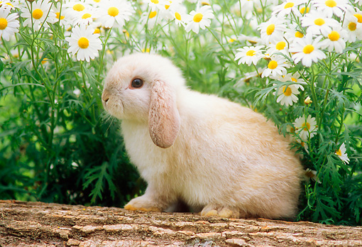 RAB 01 GR0141 01 © Kimball Stock Mini Lop Rabbit Sitting On Log By Flowers