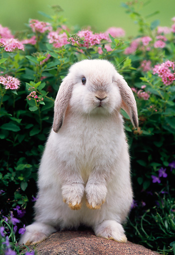 RAB 01 GR0143 01 © Kimball Stock Mini Lop Rabbit On Rock By Flowers
