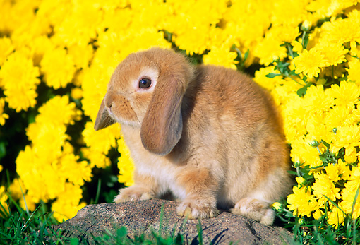 RAB 01 GR0149 01 © Kimball Stock Mini Lop Rabbit Sitting On Rock By Flowers