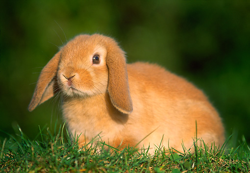 RAB 01 GR0150 01 © Kimball Stock Mini Lop Rabbit On Grass