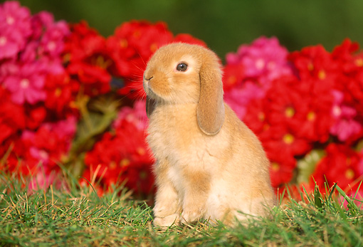 RAB 01 GR0151 03 © Kimball Stock Mini Lop Rabbit Sitting On Grass By Red Flowers