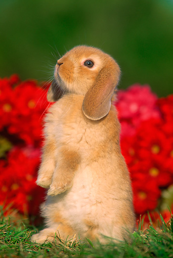 RAB 01 GR0152 02 © Kimball Stock Mini Lop Rabbit On Grass By Flowers
