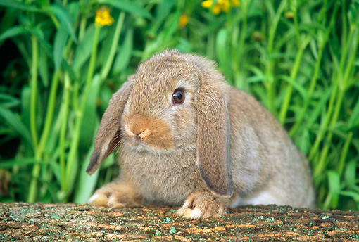 RAB 01 GR0154 01 © Kimball Stock Mini Lop Rabbit Stepping On Log By Flowers
