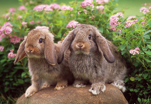 RAB 01 GR0157 04 © Kimball Stock Two Mini Lop Rabbits Sitting On Rock By Flowers