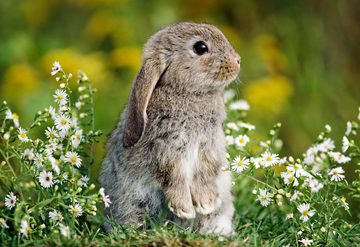 RAB 01 GR0160 01 © Kimball Stock Mini Lop Rabbit By Flowers