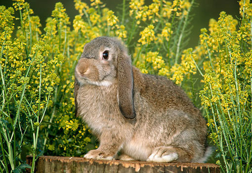 RAB 01 GR0161 02 © Kimball Stock Mini Lop Rabbit Sitting On Tree Stump By Flowers